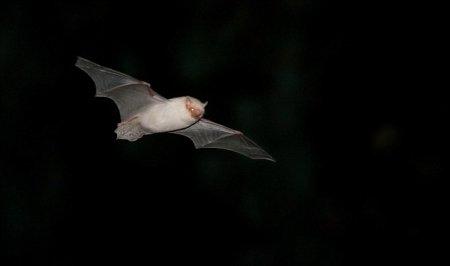 В Великобритании засняли редкую белую летучую мышь