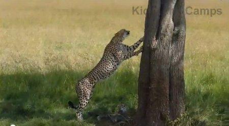 Мама-гепард случайно дала своему детенышу сильный пинок