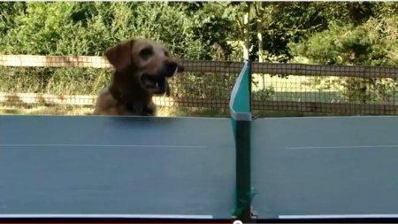 Пес - большой любитель настольного тенниса