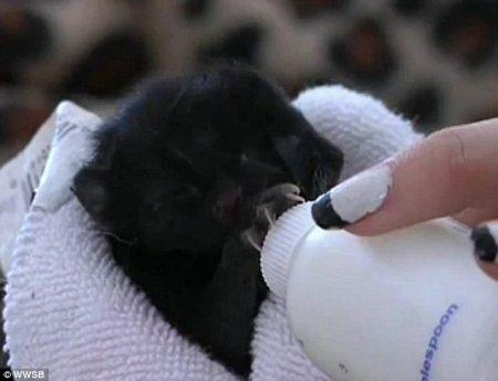 Харви Дент - котёнок с двумя мордочками