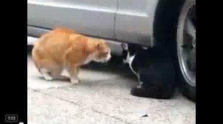 Дерзкая разборка котов
