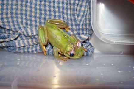 Раненная газонокосилкой лягушка выжила после операции