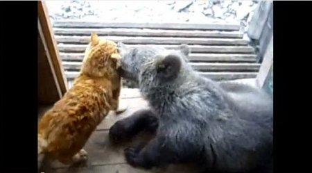 Медведь против кота