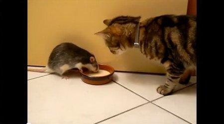 Кот и крыса пьют молоко из одной миски