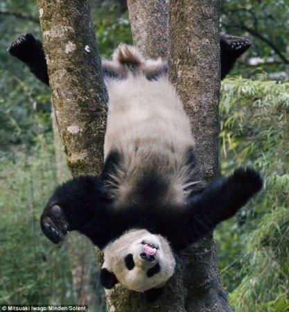 Малыш большой панды застрял на дереве