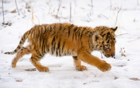 В Приморье спасают тигренка