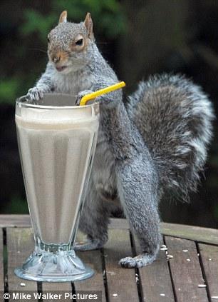 Серая белка научилась пить коктейль через трубочку!