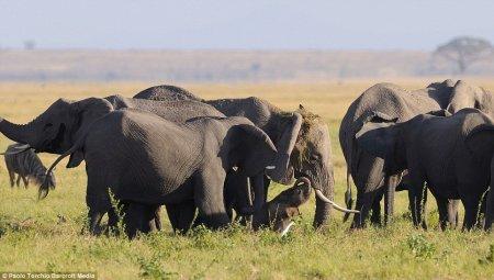 Стадо защитило слониху и малыша во время родов
