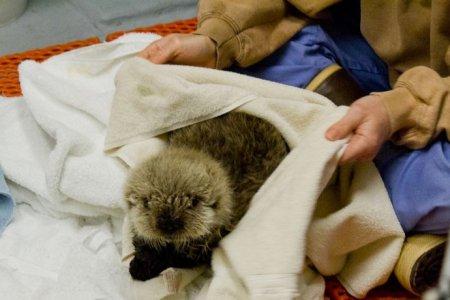 На Аляске спасли маленькую выдру-калана