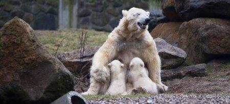 Белые медвежата-близнецы из голландского зоопарка