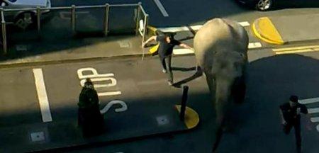В Ирландии слон прогуливался по улицам