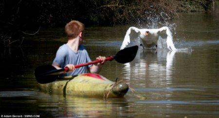 Лебедь Тайсон нокаутировал байдарочников Темзы
