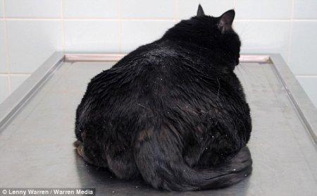 Конкурс на похудение среди толстых питомцев
