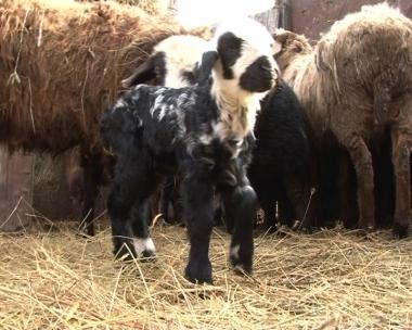 В Казахстане родился необычный ягненок
