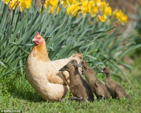 Курица Хильда и ее утята