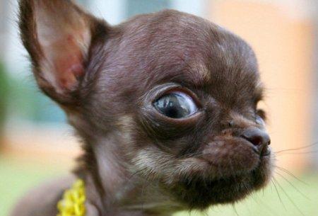 Милли может стать самой маленькой собачкой в мире