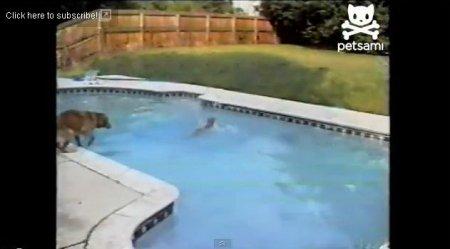 Материнский инстинкт или Спасение щенка из бассейна