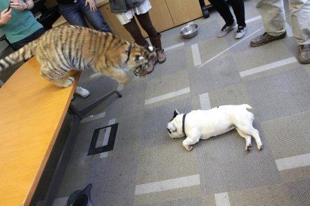 Игры тигренка и французского бульдога