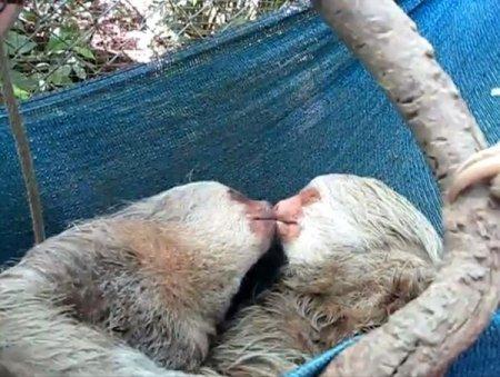 Влюбленная парочка ленивцев