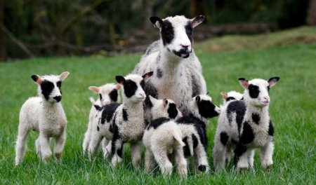 Овца родила семь ягнят за раз