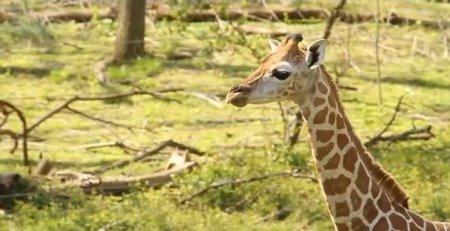Минутка для умиления: маленький жираф забавно ловит бабочку