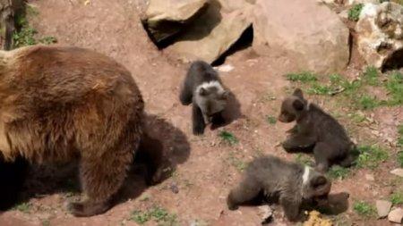 Три медвежонка с мамой на прогулке