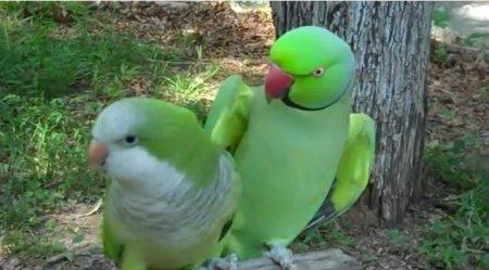 Нежности попугаев