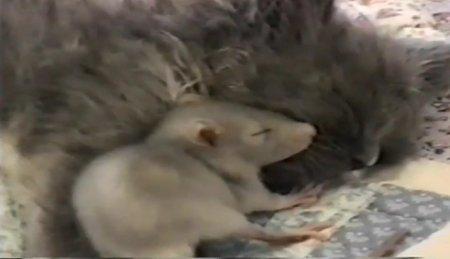 Минутка для умиления: котенок и крысенок спят вместе