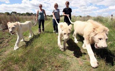 Прогулка со львами