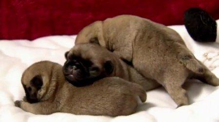 Минутка для умиления: Маленькие щенки мопса