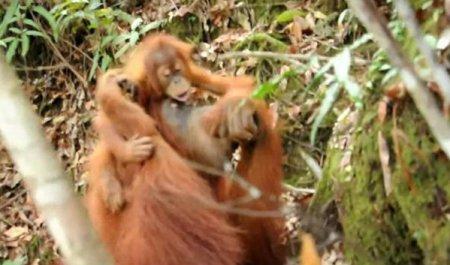 Орангутан и голодны малыш