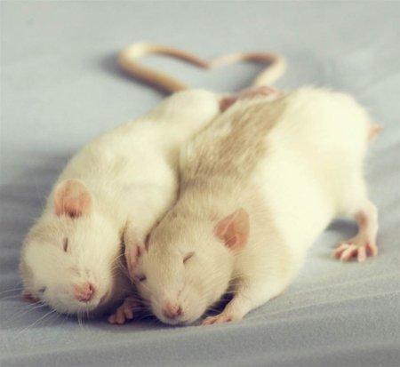 Милые крыски