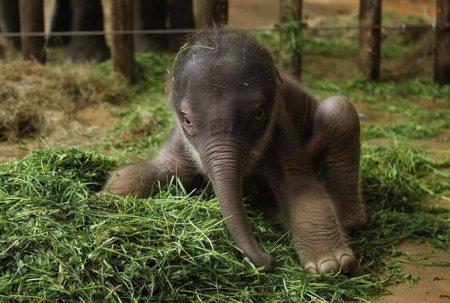 Новорожденный слоненок в зоопарке Берлина