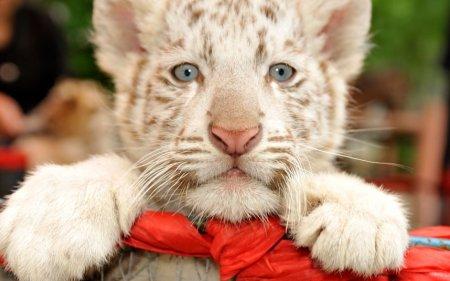 Фото дня: Белый бенгальский тигренок