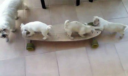 Минутка для умиления: Щенки катаются на скейтборде