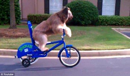 Пес, умеющий кататься на велосипеде