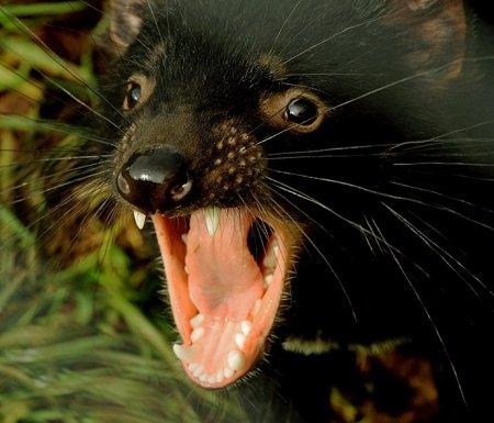 Тасманийский дьявол в приюте Devil Ark