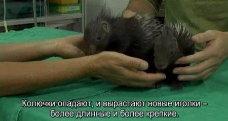 Ветеринары спасли осиротевших детенышей дикобразов