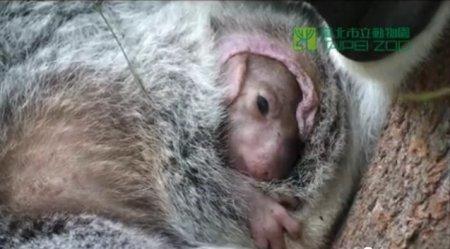 Детеныш коалы выбирается из сумки мамы