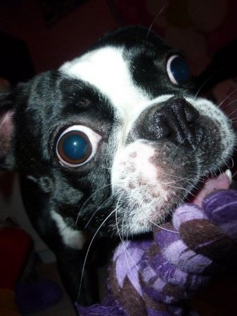 У пса Браски самые большие глаза в мире