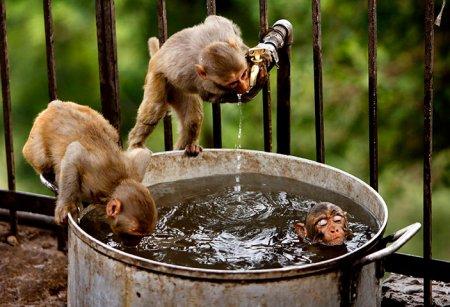 Фото дня: Мартышки купаются в кастрбле
