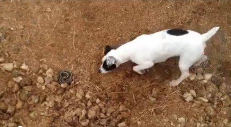 Змея атаковала пса
