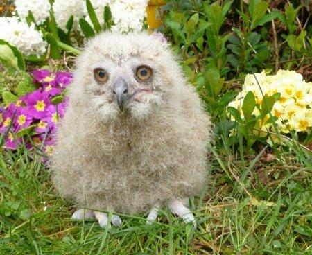В английском зоопарке выхаживают птенца казахского филина