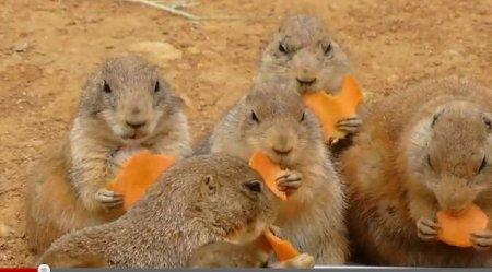 Луговые собачки с аппетитом поедают морковку
