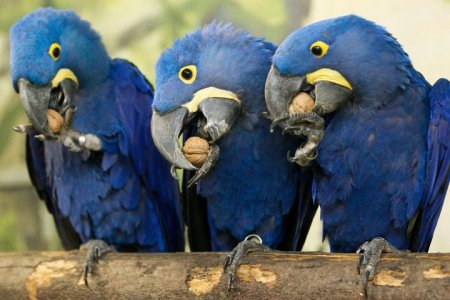 Попугаи делят орех