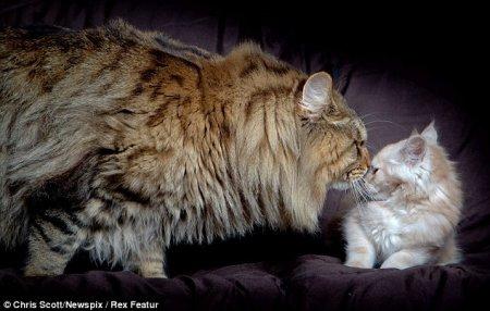 Самый крупный кот породы мейн-кун