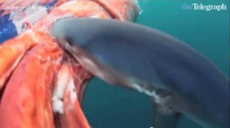 Голубые акулы атаковали 4-х метрового кальмара