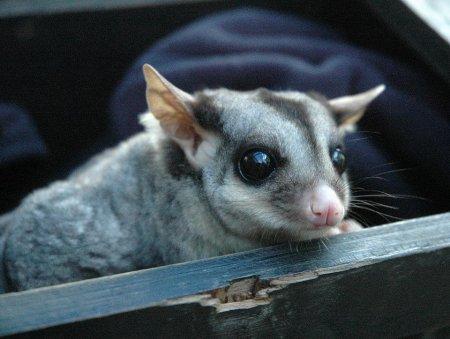 Сумчатая летяга из австралийского зоопарка
