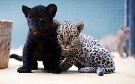 В берлинском зоопарке официально представили публике двух ягуаров