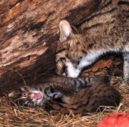 Рождение редких котов-рыболовов в Смитсоновском зоопарке